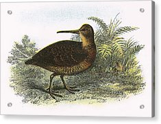 Woodcock Acrylic Print by English School