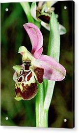 Woodcock Ophrys Flower Acrylic Print
