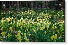 Woodland Daffodils Acrylic Print by Bill Wakeley