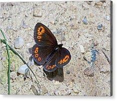 Woodland Ringlet Butterfly Acrylic Print by Bob Gibbons