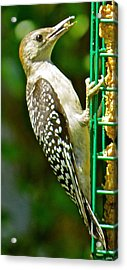 Woodpecker 101 Acrylic Print by Patsy Pratt