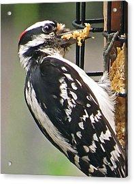 Woodpecker 105 Acrylic Print by Patsy Pratt