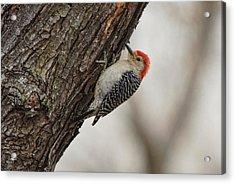 Woodpecker Acrylic Print by Alan Hutchins