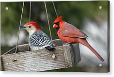 Woodpecker And Cardinal Acrylic Print by John Kunze