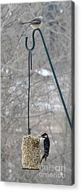 Woodpecker And Chickadee Acrylic Print