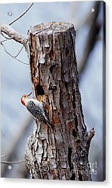 Woodpecker And Starling Fight For Nest Acrylic Print