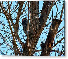 Woodpecker Acrylic Print by Carolyn Ricks