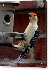 Acrylic Print featuring the photograph Woodpecker Red Bellied by James C Thomas