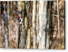 Acrylic Print featuring the photograph Woody by Sennie Pierson