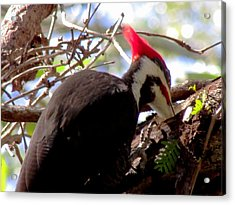 Woody  Acrylic Print by Will Boutin Photos