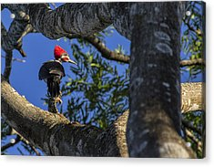 Woody Woodpecker Acrylic Print by David Gleeson