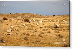 Wool You Sheep With Me Acrylic Print
