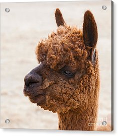 Woolly Alpaca Acrylic Print by Jerry Cowart