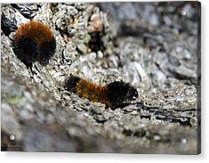 Woolly Bear Caterpillar Acrylic Print by Christina Rollo