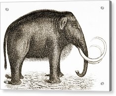 Woolly Mammoth Acrylic Print by British Library