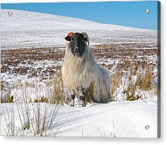 Woolly Red Acrylic Print