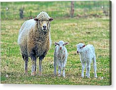 Wooly Babies   Acrylic Print by Constantine Gregory