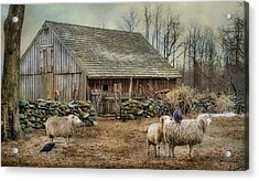 Wooly Bully Acrylic Print