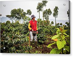 Workers In The Coffee Fields Acrylic Print