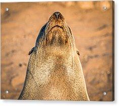 Working On A Tan - Fur Seal Photograph Acrylic Print