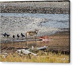 World Famous Yellowstone Gray Wolf 06' Acrylic Print