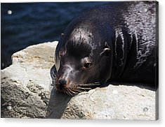 Wounded Sea Lion Resting Acrylic Print by Susan Wiedmann