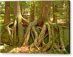 Wrapped In Roots Acrylic Print by Adam Jewell