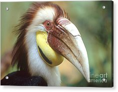 Wreathed Hornbill Acrylic Print by Art Wolfe