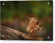 Wren Having A Marilyn Munroe Moment Acrylic Print by Izzy Standbridge