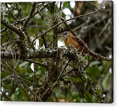 Acrylic Print featuring the photograph Wren by John Johnson