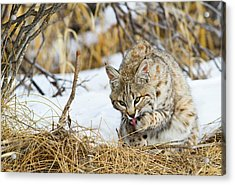 Wyoming, Sublette County, Bobcat Acrylic Print by Elizabeth Boehm