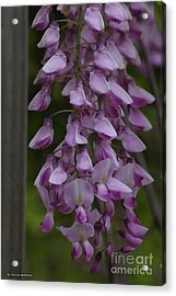 Wysteria Blooms Acrylic Print by Tannis  Baldwin