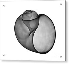 X-ray Of Florida Apple Snail Acrylic Print