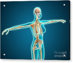 X-ray View Of Female Body Showing Acrylic Print by Stocktrek Images