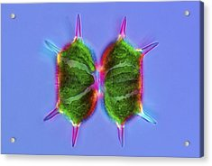 Xanthidium Desmids, Light Micrograph Acrylic Print by Science Photo Library