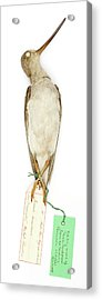 Xenus Cinereus Acrylic Print by Natural History Museum, London