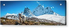 Yak Calf Grazing In High Altitude Acrylic Print by Fotovoyager