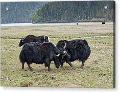 Yaks Fighting In Potatso National Park Acrylic Print