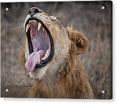 Yawning Lion Acrylic Print by Craig Brown