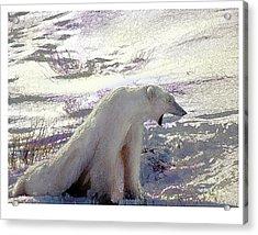 Yawning Polar Bear Acrylic Print