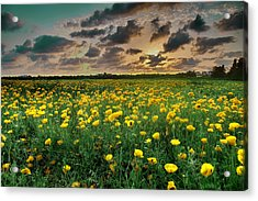 Acrylic Print featuring the photograph Yello Poppies by Meir Ezrachi