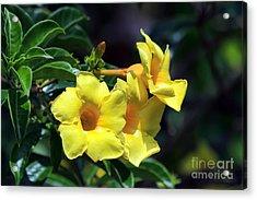 Acrylic Print featuring the photograph Yellow Allamanda by Teresa Zieba