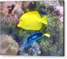 Yellow And Blue Tang Fish Acrylic Print by Susan Savad