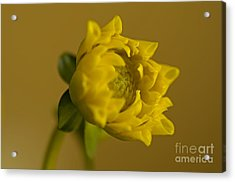 Yellow And Green Acrylic Print by Nick  Boren