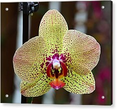 Yellow And Maroon Orchid Acrylic Print