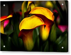 Yellow And Red Calla Lily Acrylic Print by Menachem Ganon