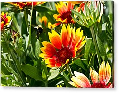 Yellow And Red Gaillardias And Bee Acrylic Print