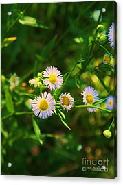 Yellow And White Dasies Acrylic Print by Eric  Schiabor