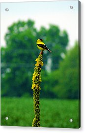 Yellow Acrylic Print by Andrea Dale