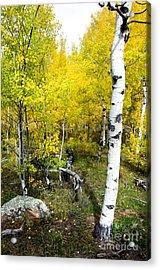 Yellow Aspens Acrylic Print by Baywest Imaging